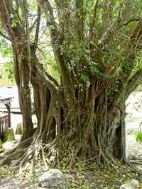 gros ficus, littotal gosier, salin-pt havre, guadeloupe