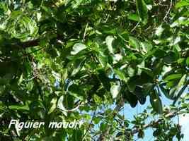 ficus, Ficus citrifolia, morne cadet, gourbeyre,