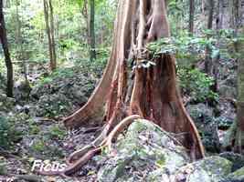 Ficus, Figuier maudit, Coulée Ouliée, Marie Galante