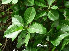 Ficus insipida, Grande Pointe