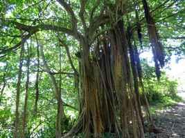 figuier maudit,Ficus citrifolia, moule bois baron Grande terre nord, guadeloupe