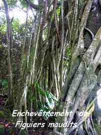 Ficus citrifolia, Grande Pointe