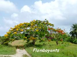 Flamboyants, Delonix regia, Marie Galante
