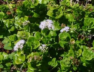 fleurit noel Trace des falaises anse bertrand Guadeloupe