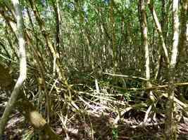 palétuviers rouges, Rhizophora mangle, Port <louis, Grande terre, Guadeloupe