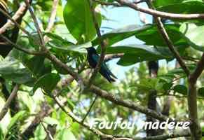 foufou madère, tete allegre, basse terre nord, Guadeloupe