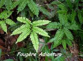 Adiantum latifolium, fougère, galbas