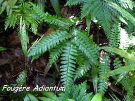 Adantium latifolium, fougère, Trace des Contrebandiers