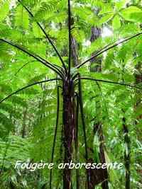 fougère arborescente Cyatea muricata, madeleine, basse terre sud, gaudeloupe