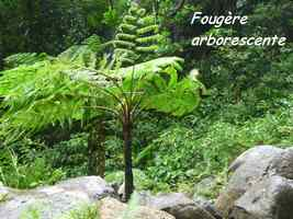 fougère arborescente, chutes moreau, goyave, basse terre nord, guadeloupe