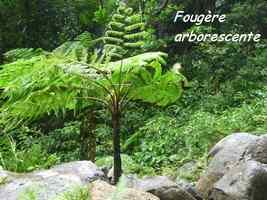 fougère arborescente, Cyatea arborea chutes moreau, goyave, basse terre nord, guadeloupe