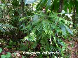 Fougère bâtarde, tamarin des hauts, Phyllantus mimosoides, Contrebandiers, Guadeloupe