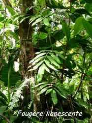 fougère liane,c, trace contrebandiers, basse terre nord, guadeloupe