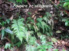 fougère sélaginelle, herbacée, bras de fort, goyave, guadeloupe