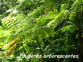 fougères arborescentes, ravine tonton, riv Vx habitants, Guadeloupe