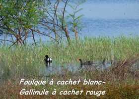 Fulica carbaea, Foulque cachet blanc, Gallinula chloropus, Poule d`eau