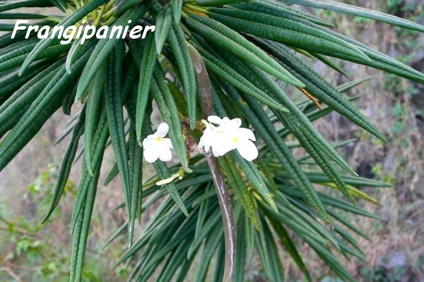 frangipanier, Plumeria alba, TdeH , les saintes