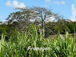 Ceiba pentandra, Maisoncelle