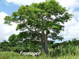 Fromager, Ceiba pentandra, Pointe à Bacchus