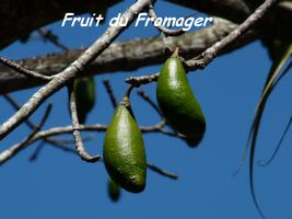 fromager ,fruit TGT, grande terre , guadeloupe