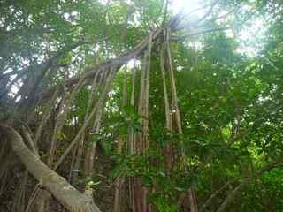 balade rivière audoin,Moule, Grande terre, Guadeloupe, arbre figuier maudit