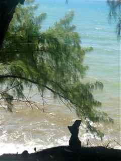 Casuarina equisetifolia, arbre, cascade de la fontaine, capesterre, guadeloupe