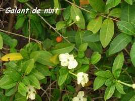 Galant de nuit, Brunfelsia americana, TdeH , Les saintes