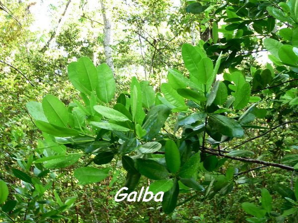 Calophyllum calaba, Maisoncelle