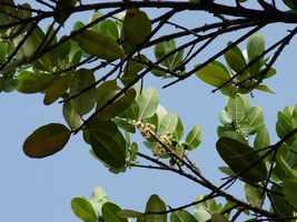 Galba, Calophyllum calaba, Littoral Deshaies