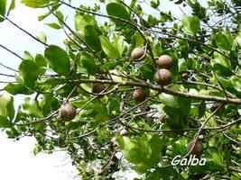 Galba, Calophyllum calaba, trace du Prince