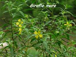 girofle mare, ravine NW Moule