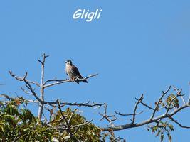 Falco sparvaerius, Maisoncelle