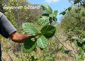 goyavier batard, terre de bas, Guadeloupe