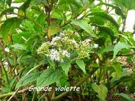 grande violette, flore, soufrière, guadeloupe