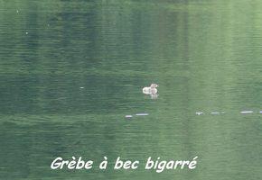 grebe, grand etang, oiseaux, guadeloupe