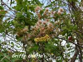griffe chat, Pithecebollium unguis cati, anse laborde