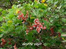 griffe chat, arbuste TGT4, grande terre, guadeloupe