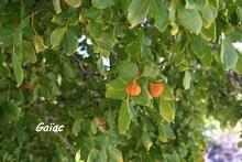 arbre foret seche, ecosysteme tropiacl, guadeloupe, antilles