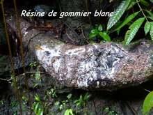 gommier blanc, rivière grosse corde, basse terre, guadeloupe