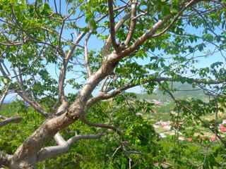 balade, ilet cabrit, arbre foret seche, gaudeloupe