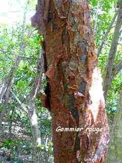 arbre foret seche, balade , barre de cadoue, grande terre, guadeloupe