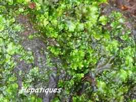 hépatiques, trace des étangs