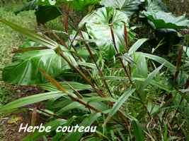 Herbe couteau, Scleria latifolia, herbacée, Contrebandiers, Guadeloupe