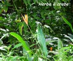 herbe à crabe, petit balisier, Heliconia psittacorum, Contrebandiers, Guadeloupe
