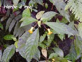 herbe à miel, Besleria, trace des étangs