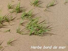 Herbe bord de mer, Sporobolus virginicus, Littoral Deshaies