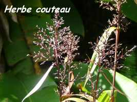 herbe couteau, tete allègre, basse terre nord, guadeloupe