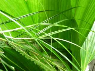 grosse corde herbe coupante, Scleria secans,guadeloupe