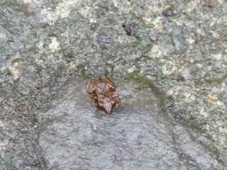 grenouille , Hylode, Eleupterodactylus balagnei, foret tropicale humide antilles