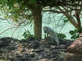 iguane, Iguana iguana, terre de haut , les saintes, Guadeloupe